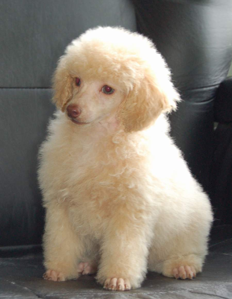 Toy Poodle Haircuts Pictures Hairstyle Gallery